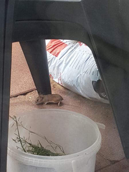 Feldmaus auf der Terrasse