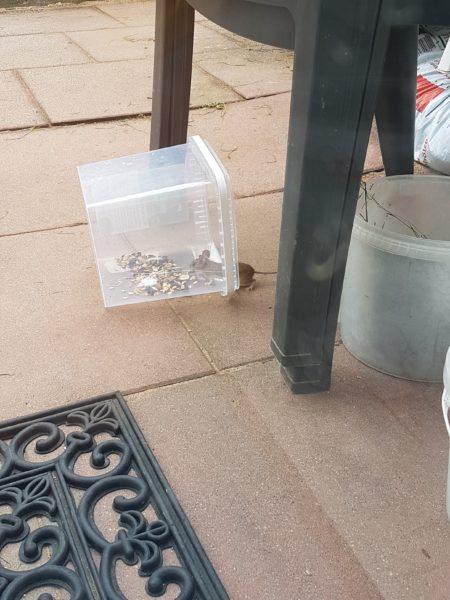 Füttern einer Feldmaus auf der Terrasse