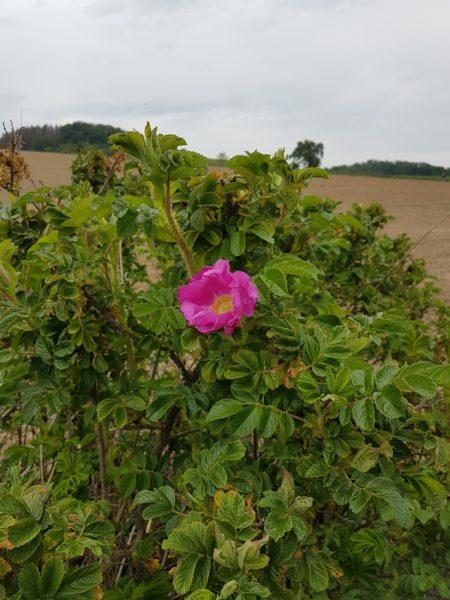 erste blühende Wildrose im Mai